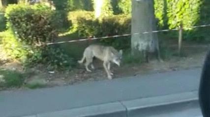 Danni dalle predazioni dei lupi, ecco i risarcimenti della Regione