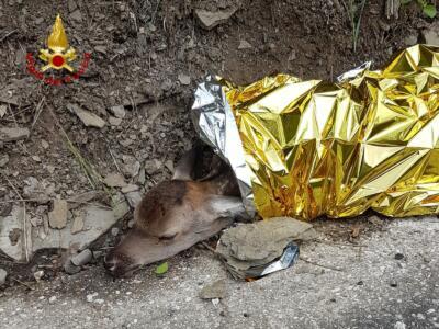 Vigili del fuoco soccorrono cerbiatto ferito sulla strada, affidato al soccorso veterinario