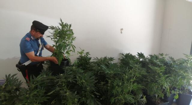 Una serra di marijuana in casa, arrestato 28enne