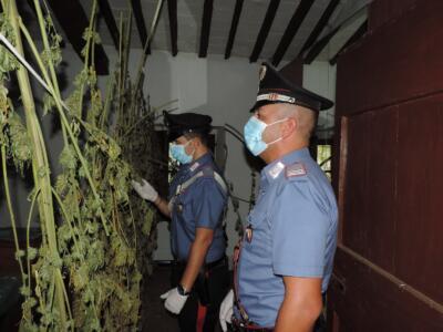 Scoperto dai Carabinieri un podere abbandonato usato come essiccatoio di marijuana